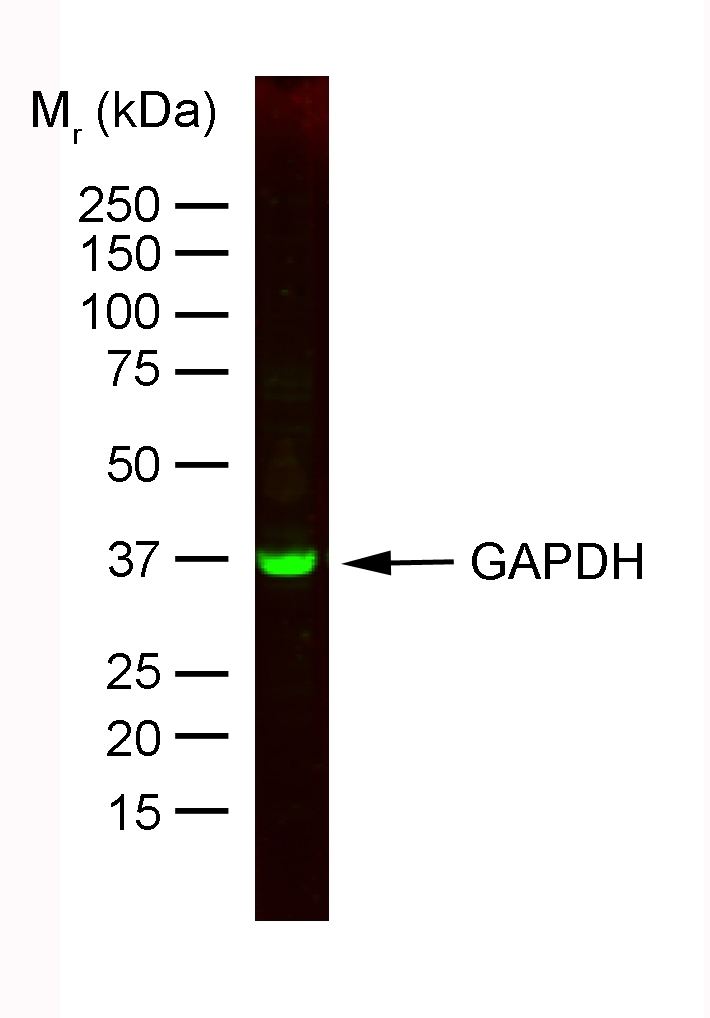 Anti Rabbit GAPDH Antibody, clone 6C5 thumbnail image 1