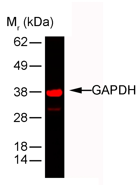 Anti Rabbit GAPDH Antibody, clone 6C5 gallery image 2