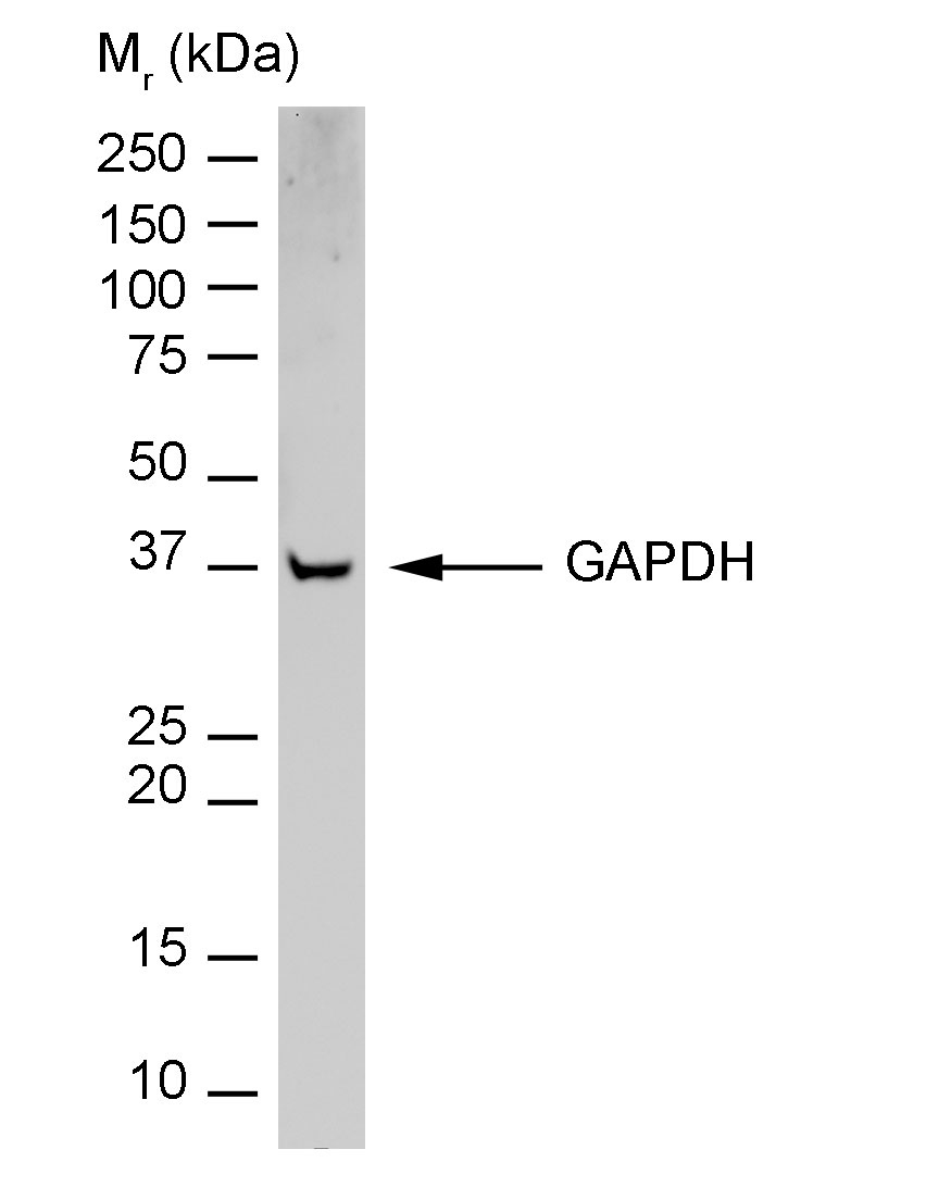 Anti Rabbit GAPDH Antibody, clone 6C5 thumbnail image 3