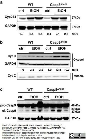 Anti Rabbit GAPDH Antibody, clone 6C5 thumbnail image 5