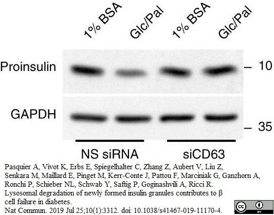 Anti Rat C-Peptide I Antibody, clone 6H1 gallery image 1