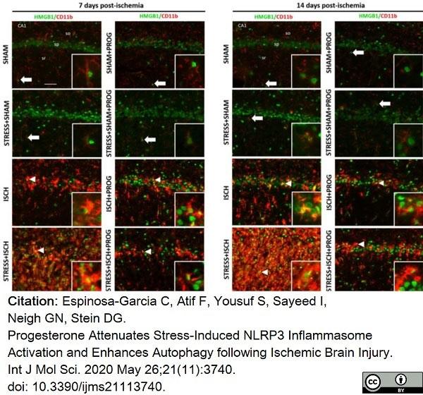 Anti Rat CD11b Antibody, clone OX-42 thumbnail image 26
