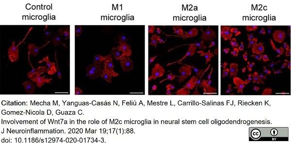 Anti Rat CD11b Antibody, clone OX-42 thumbnail image 28