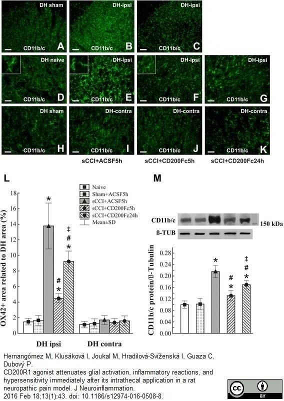 Anti Rat CD11b Antibody, clone OX-42 thumbnail image 7