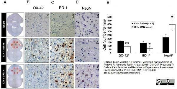 Anti Rat CD11b Antibody, clone OX-42 thumbnail image 9