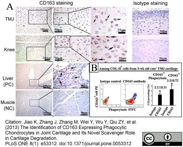 Anti Rat CD163 Antibody, clone ED2 thumbnail image 10