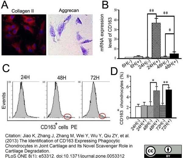 Anti Rat CD163 Antibody, clone ED2 thumbnail image 11