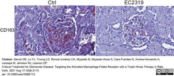 Anti Rat CD163 Antibody, clone ED2 thumbnail image 24