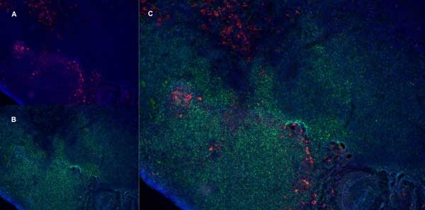 Anti Rat CD163 Antibody, clone ED2 thumbnail image 6