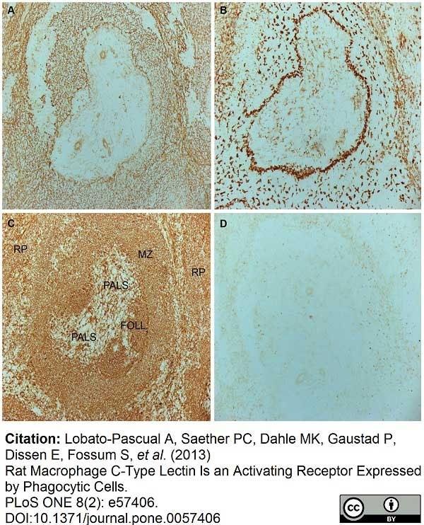 Anti Rat CD169 Antibody, clone ED3 thumbnail image 10