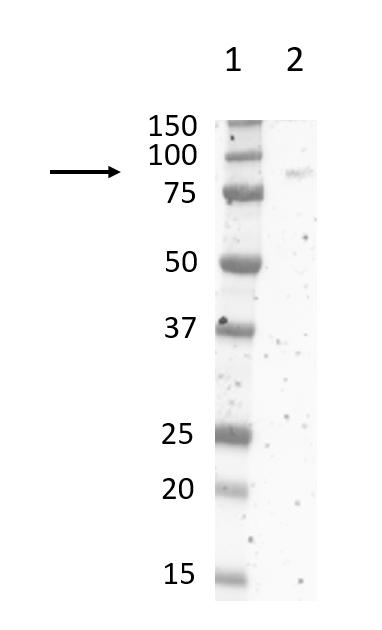 Anti Rat CD172a Antibody, clone ED9 thumbnail image 11