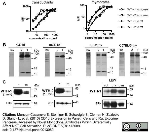 Anti Rat CD1d Antibody, clone WTH1 thumbnail image 3