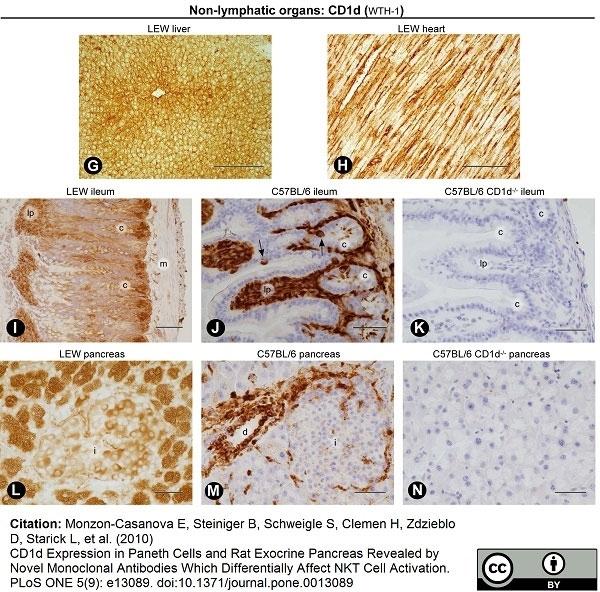Anti Rat CD1d Antibody, clone WTH1 thumbnail image 9