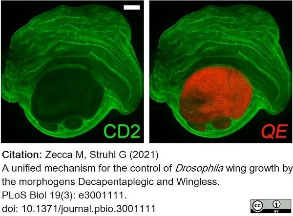 Anti Rat CD2 Antibody, clone OX-34 thumbnail image 10