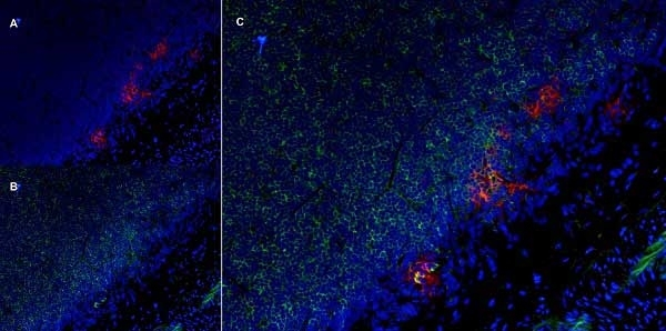 Anti Rat CD25 Antibody, clone OX-39 thumbnail image 9