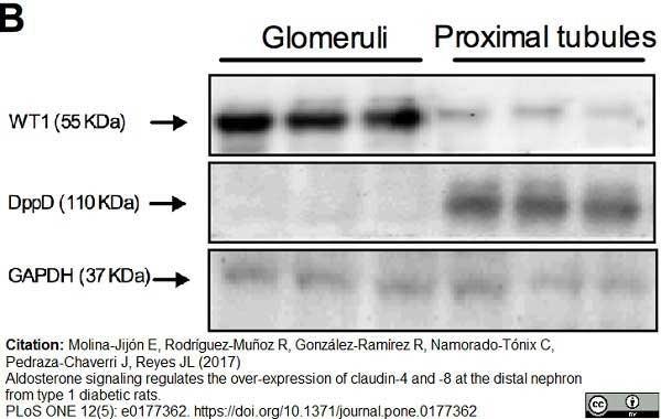 Anti Rat CD26 Antibody, clone OX-61 thumbnail image 5