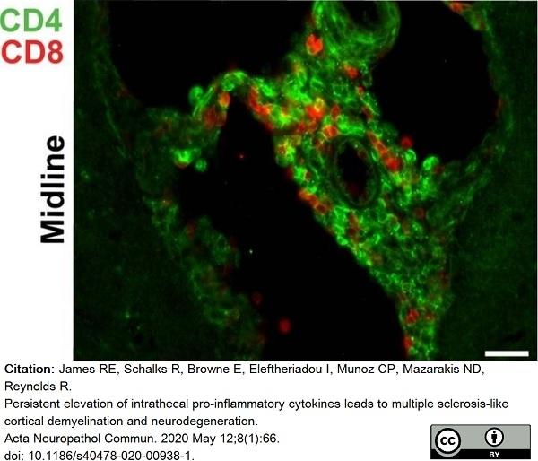 Anti Rat CD4 (Domain 2) Antibody, clone OX-35 thumbnail image 7