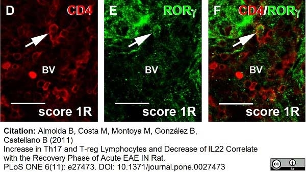Anti Rat CD4 (Domain 1) Antibody, clone W3/25 thumbnail image 11