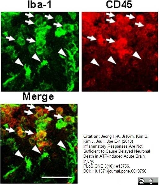 Anti Rat CD45 Antibody, clone OX-1 thumbnail image 9