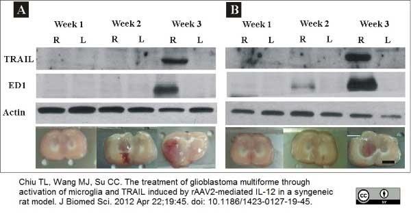 Anti Rat CD68 Antibody, clone ED1 thumbnail image 12