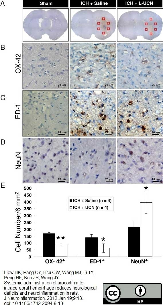 Anti Rat CD68 Antibody, clone ED1 thumbnail image 17