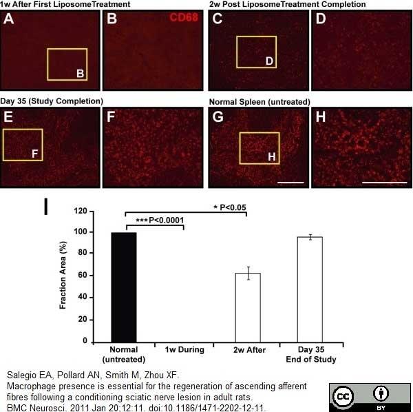 Anti Rat CD68 Antibody, clone ED1 thumbnail image 19