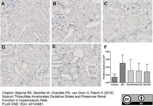 Anti Rat CD68 Antibody, clone ED1 thumbnail image 21