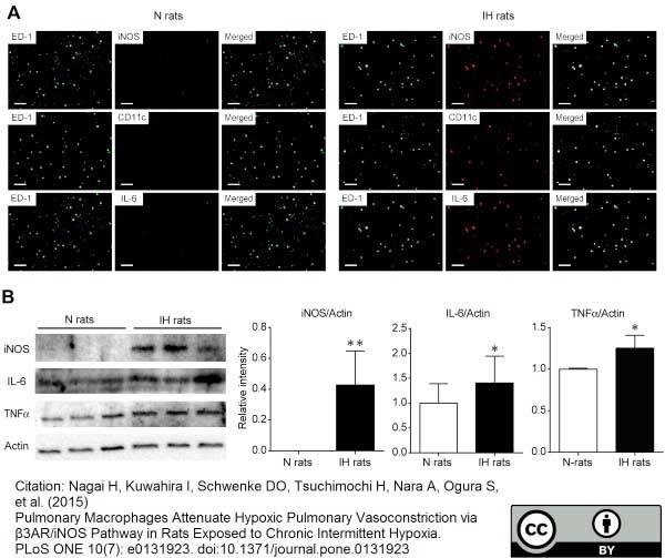 Anti Rat CD68 Antibody, clone ED1 thumbnail image 24