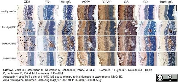Anti Rat CD68 Antibody, clone ED1 thumbnail image 27