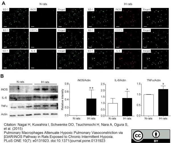Anti Rat CD68 Antibody, clone ED1 thumbnail image 28