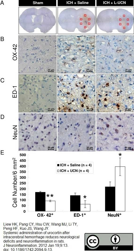 Anti Rat CD68 Antibody, clone ED1 thumbnail image 46