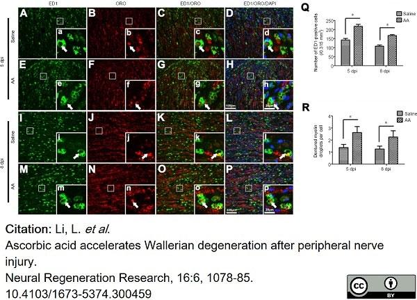 Anti Rat CD68 Antibody, clone ED1 thumbnail image 58