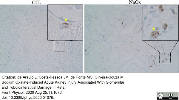 Anti Rat CD68 Antibody, clone ED1 thumbnail image 61