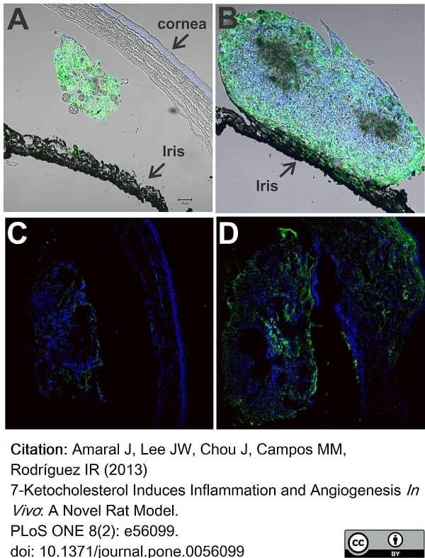 Anti Rat CD68 Antibody, clone ED1 thumbnail image 69