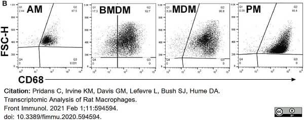Anti Rat CD68 Antibody, clone ED1 thumbnail image 71