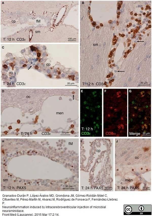 Anti Rat CD8 Alpha Antibody, clone OX-8 thumbnail image 13