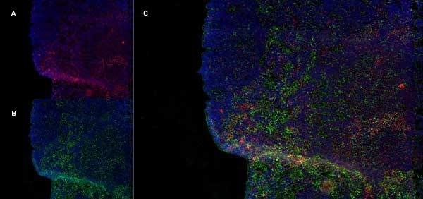 Anti Rat CD8 Beta Antibody, clone 341 thumbnail image 5