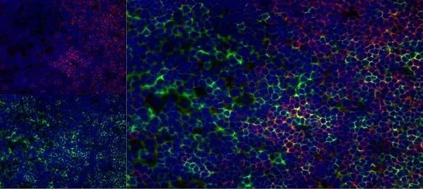 Anti Rat CD8 Beta Antibody, clone 341 thumbnail image 7