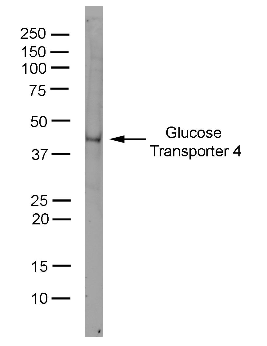 Anti Glucose Transporter 4 Antibody, clone 1F8 thumbnail image 1