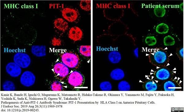 Anti Rat MHC Class I RT1A Antibody, clone OX-18 thumbnail image 5