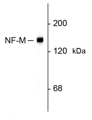 Anti Rat Neurofilament M (C-Terminal) Antibody, clone 3H11 gallery image 1