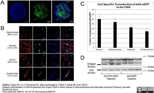 Anti Rat RECA-1 Antibody, clone HIS52 thumbnail image 1