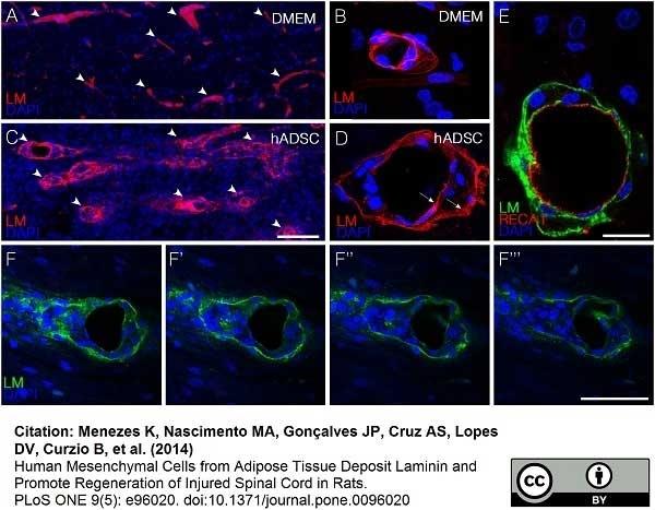 Anti Rat RECA-1 Antibody, clone HIS52 thumbnail image 10