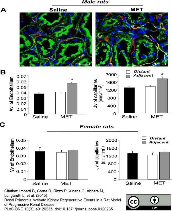 Anti Rat RECA-1 Antibody, clone HIS52 thumbnail image 14