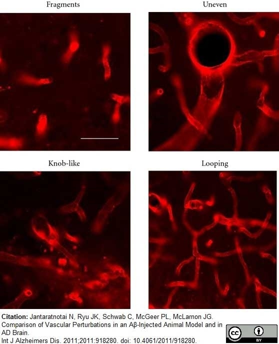 Anti Rat RECA-1 Antibody, clone HIS52 thumbnail image 15