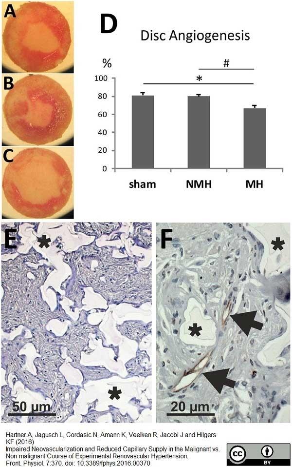Anti Rat RECA-1 Antibody, clone HIS52 thumbnail image 17