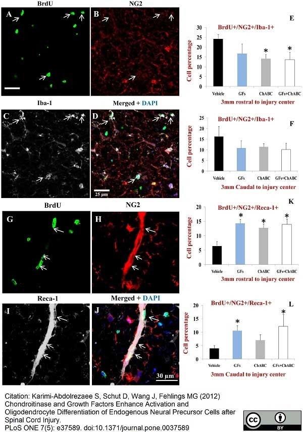 Anti Rat RECA-1 Antibody, clone HIS52 thumbnail image 24