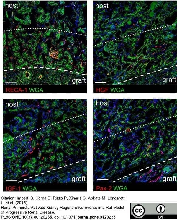 Anti Rat RECA-1 Antibody, clone HIS52 thumbnail image 27