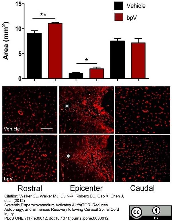 Anti Rat RECA-1 Antibody, clone HIS52 thumbnail image 4