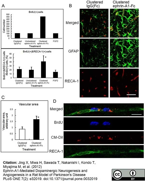 Anti Rat RECA-1 Antibody, clone HIS52 thumbnail image 8